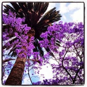 Purple Palmtree