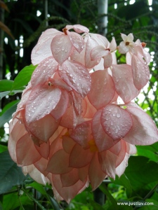 Pink Dew