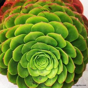 Succulent-001